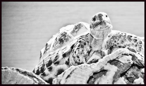 Free stock photo of animal, black and white, tortoise