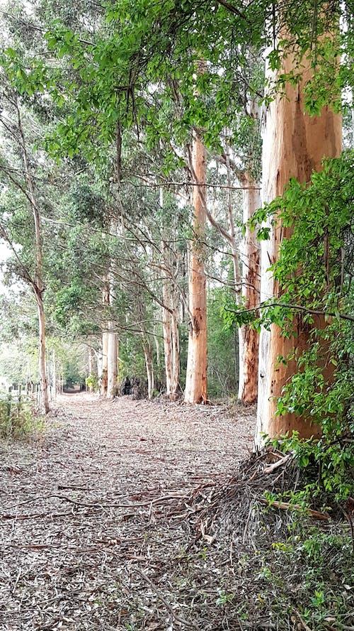 Kostnadsfri bild av australiensisk scen, buske, fallen lämnar spår, höga träd