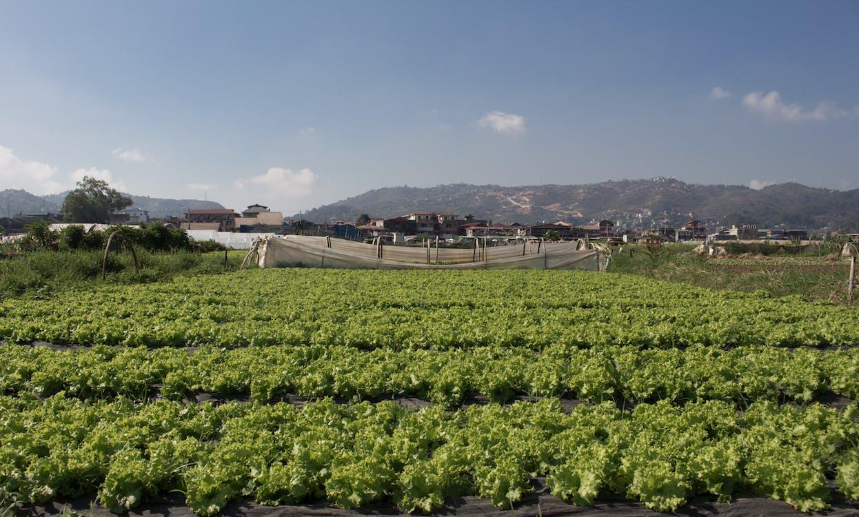 baguio, farma, hlávkový salát