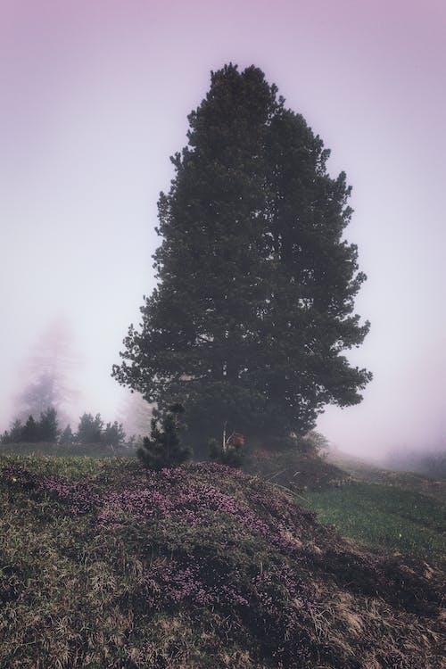 HD-обои, вечнозеленый, деревья