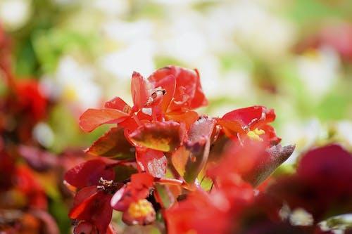 Photos gratuites de fleurs rouges