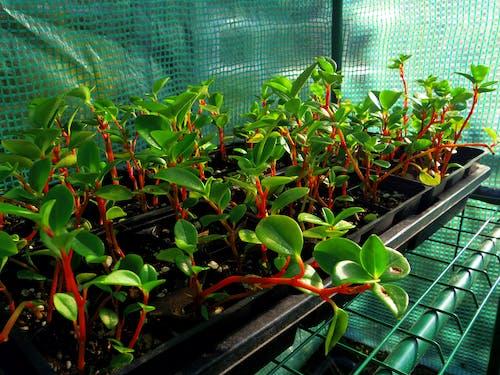 Free stock photo of Peperomia glabella propagation, Peperomia propagation, plant propagation, plants
