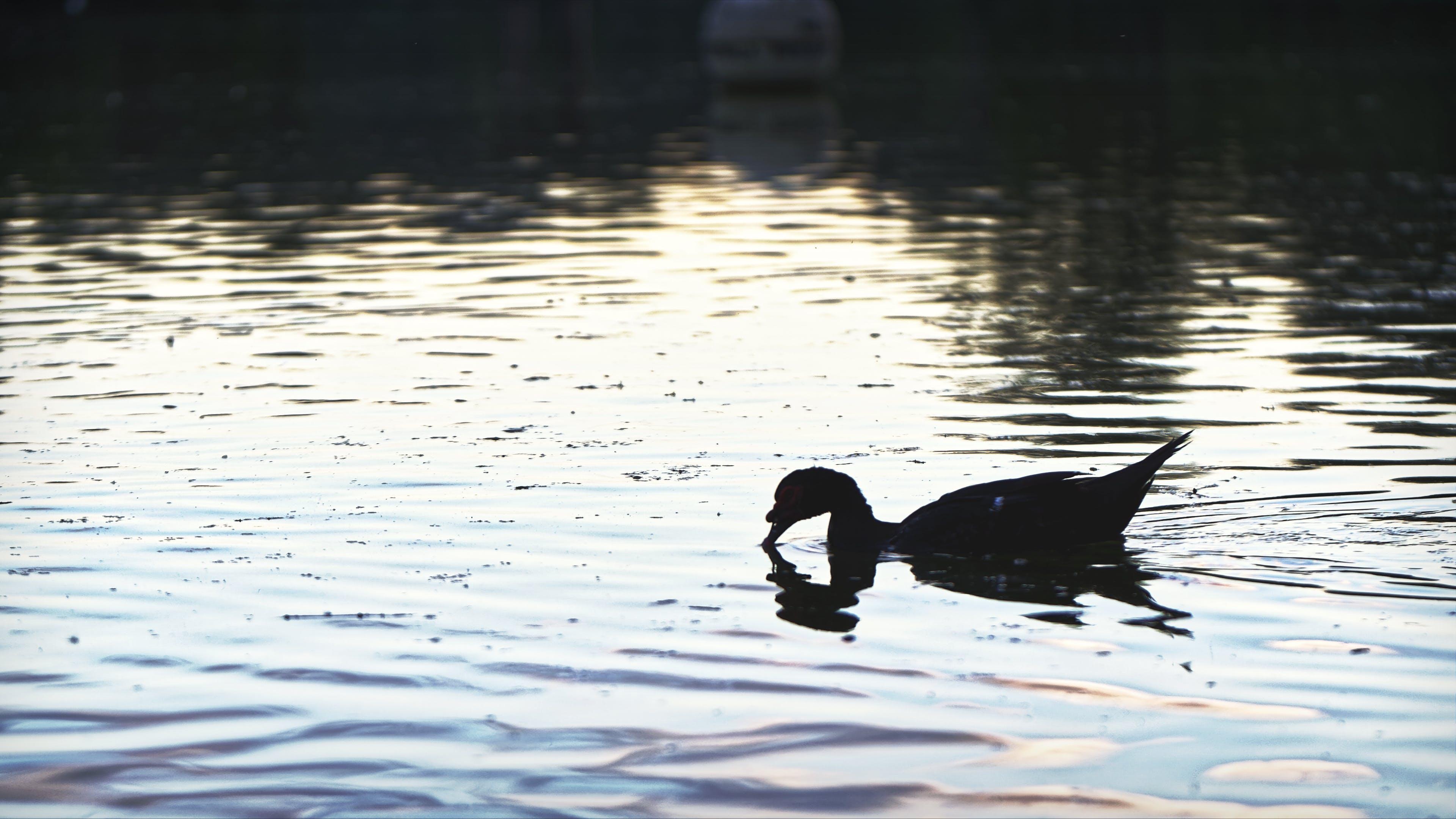 คลังภาพถ่ายฟรี ของ ทะเลสาป, นก, พลบค่ำ, ภาพเงาของห่านบนร่างกายของน้ำ