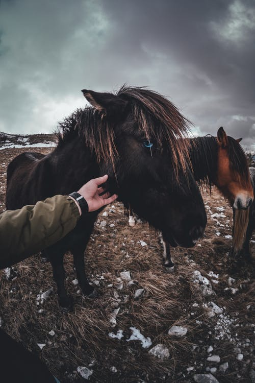 Two Black and Brown Horses in Field