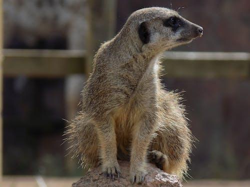 Free stock photo of animal, suricate, timao