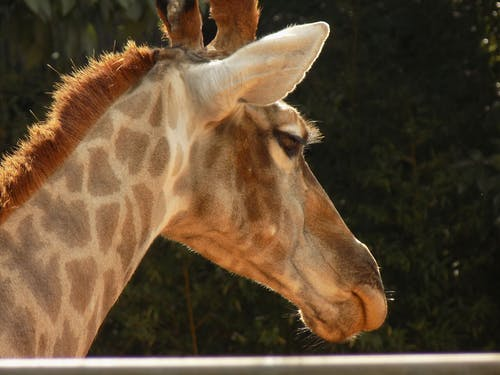 Free stock photo of animal, giraffe, zoologic