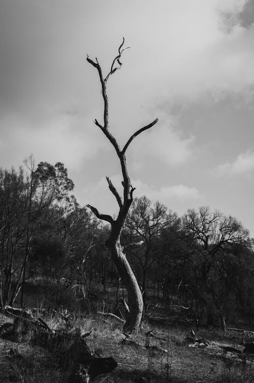 Monochrome Photo of Dead Tree