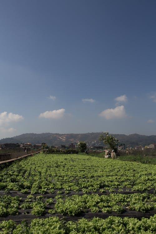 Foto d'estoc gratuïta de Agricultura, arbres, baguio, blau