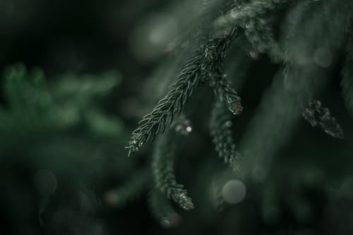 Greyscale Photography of Pine Tree