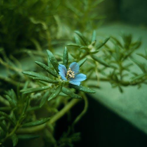 Foto stok gratis biru, blu, bunga yang indah
