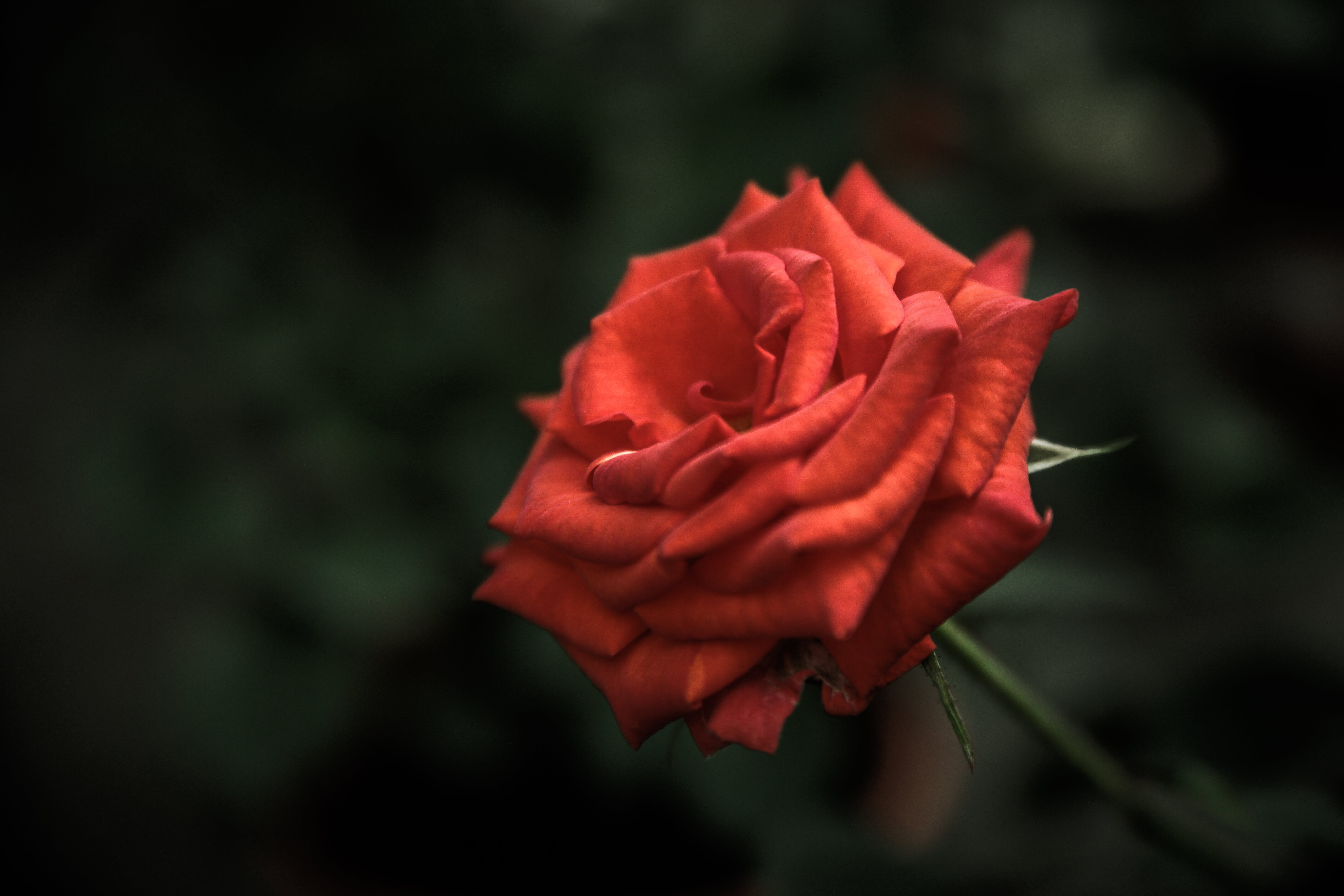 Red Rose Flower in Focus Photography