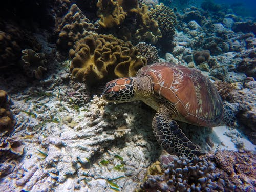 ウミガメ, カメ, サンゴ, サンゴ礁の無料の写真素材
