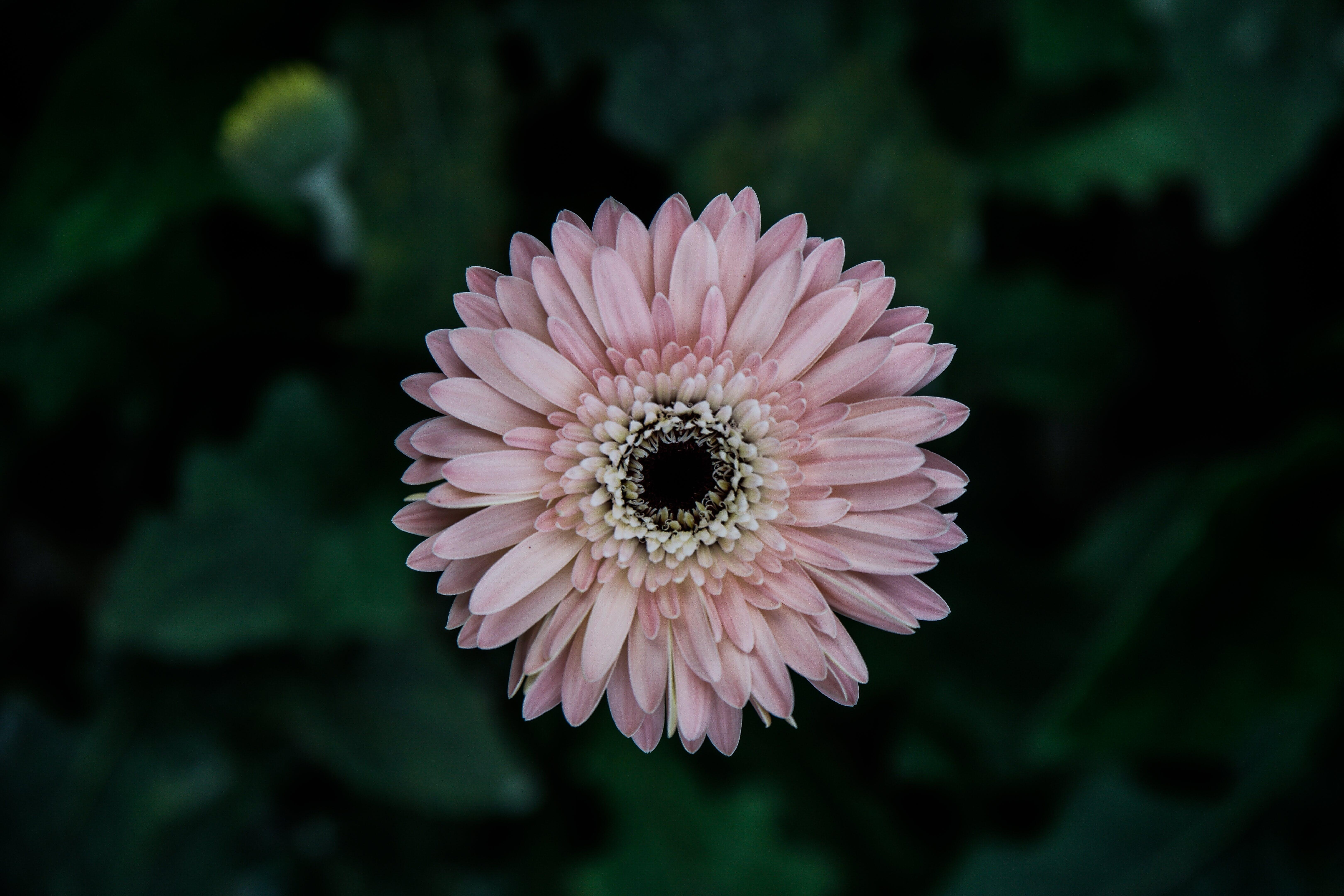 closeup, daisy, flowers