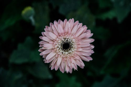 Selective Focus Photo of Pink Gerbera Daisy Flower