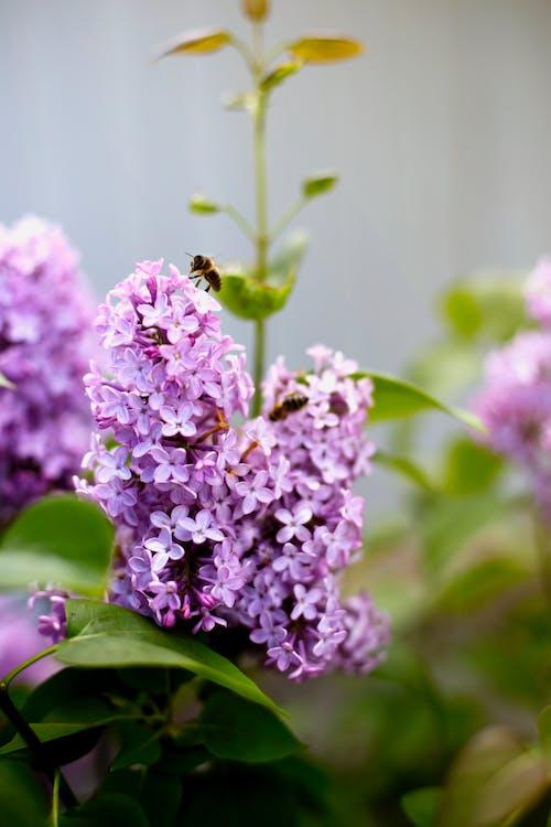ハチ, フラワーズ, ライラック, 春の無料の写真素材