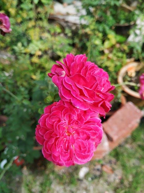 Бесплатное стоковое фото с садовые цветы