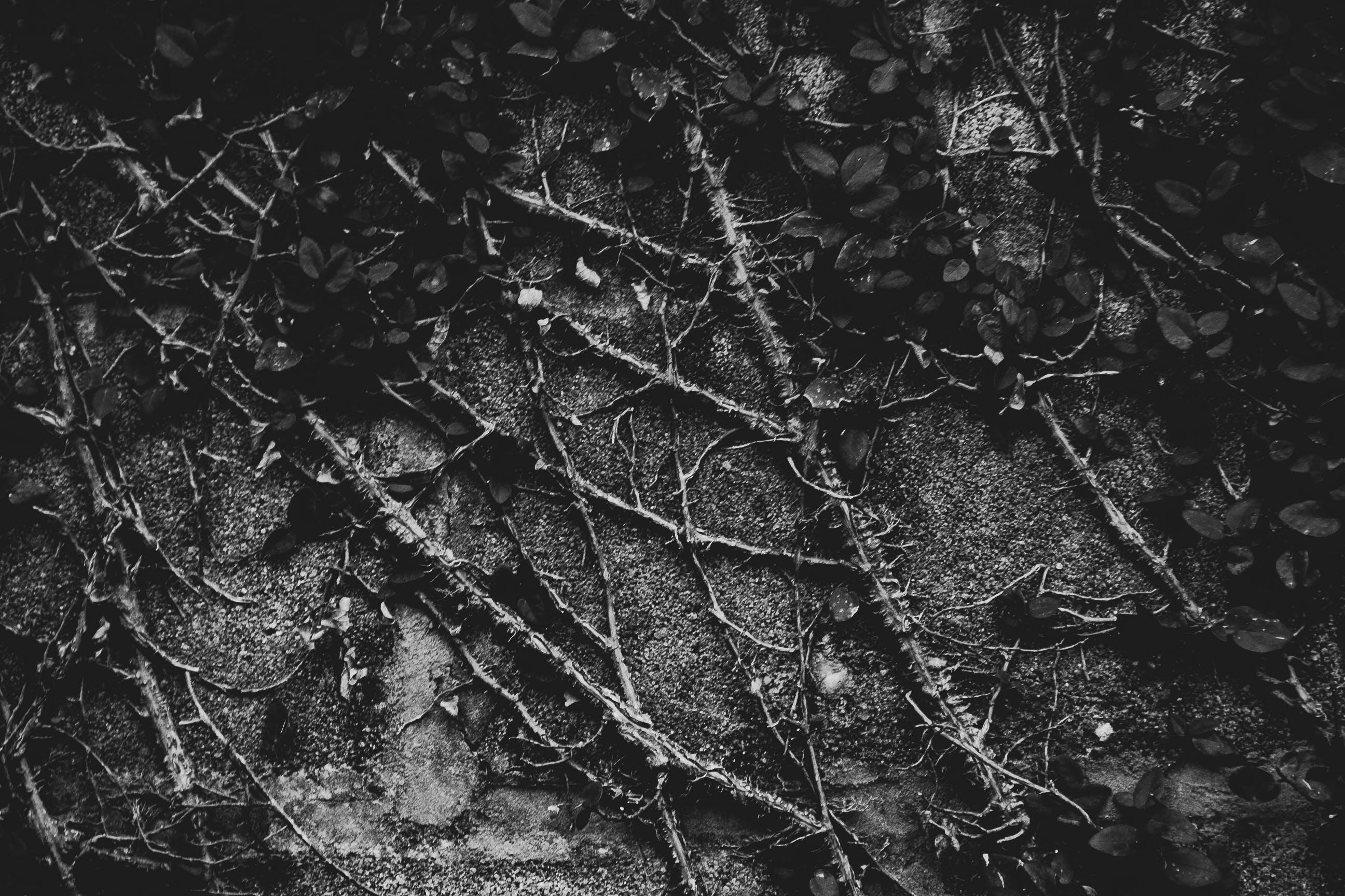 Gratis lagerfoto af plante, sort og hvid, sort-hvid, vinstokke