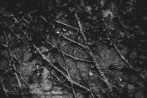 Безкоштовне стокове фото на тему «виноградні лози, завод, Стіна, чорно-білий»