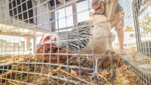 Free stock photo of animal farming, animals, chicken, farm