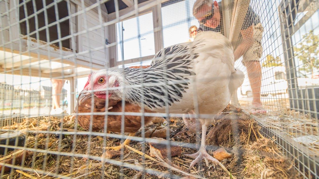 Животноводство, животные, курица