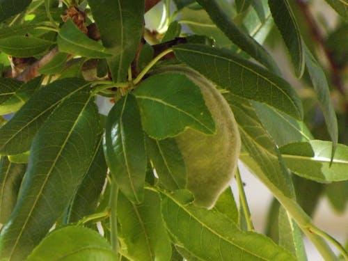 Free stock photo of leaf, nut