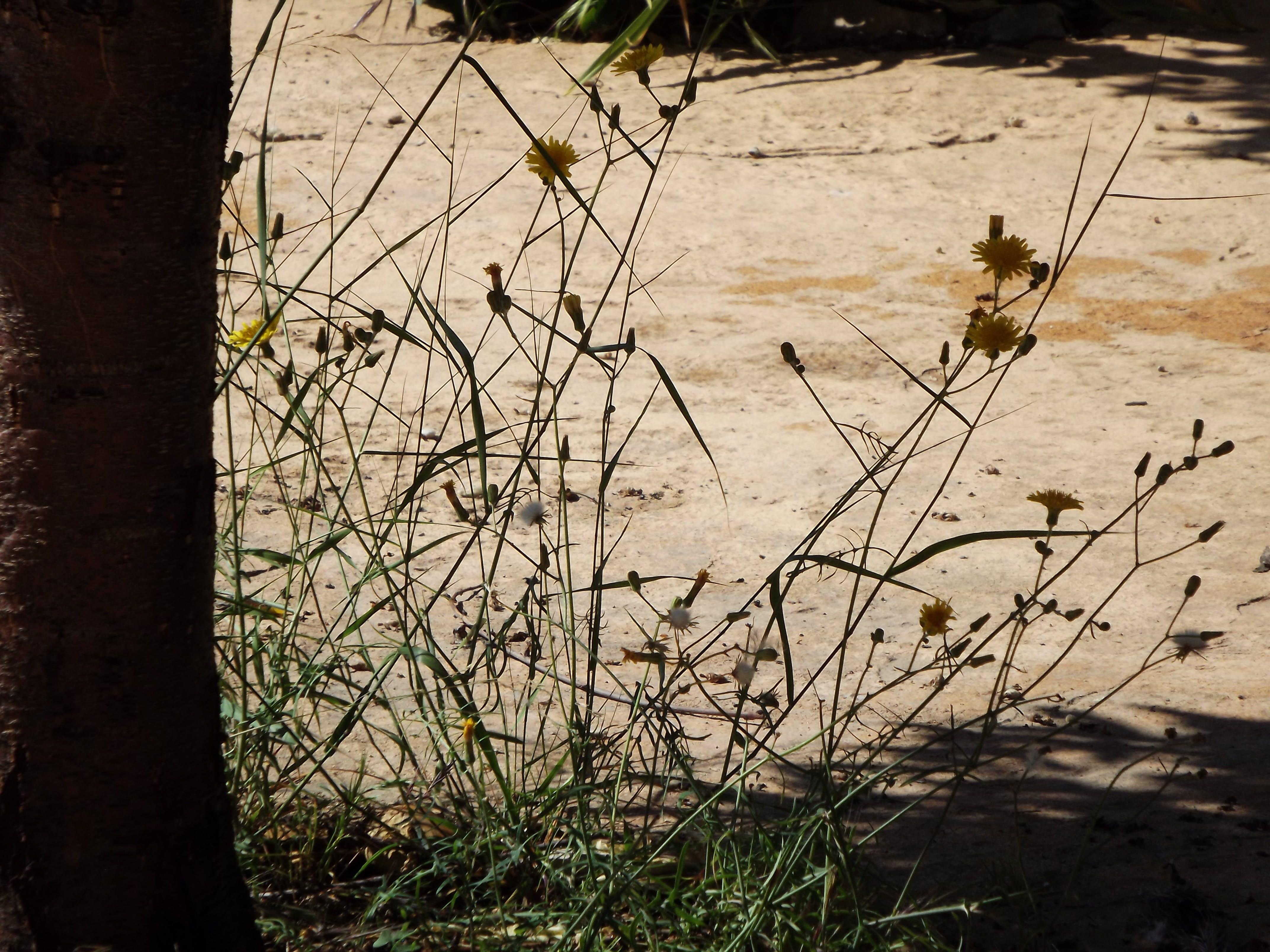 Free stock photo of contrast, dandelion