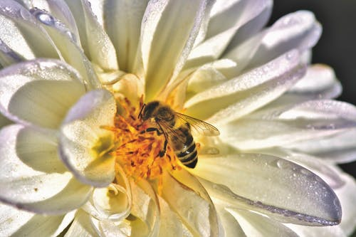 Gratis arkivbilde med bie, blomstrer, georgine, honningbie