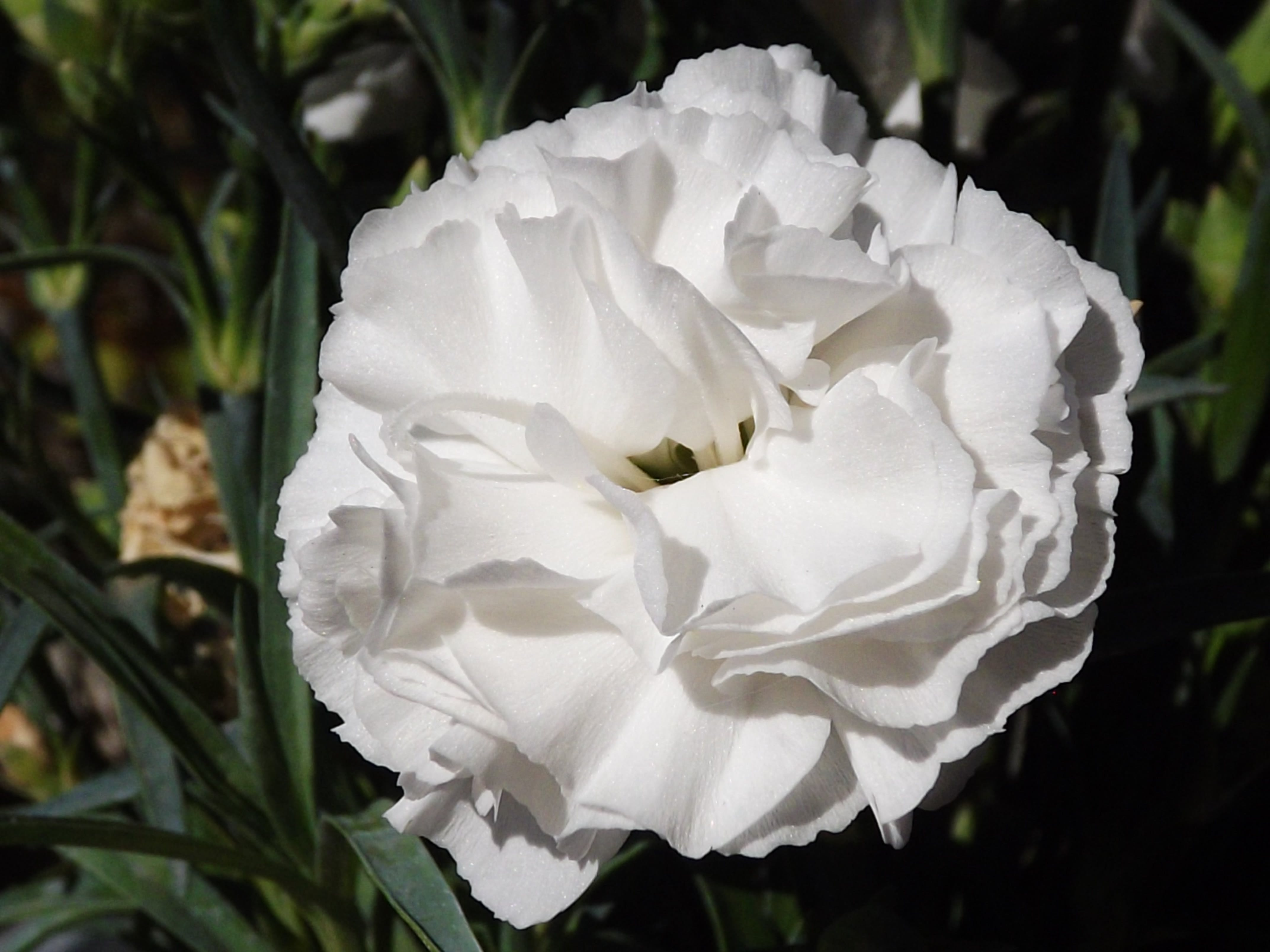 Free stock photo of carnation, petals, plant, white