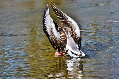 Gratis arkivbilde med fugl, gås, vannfugl