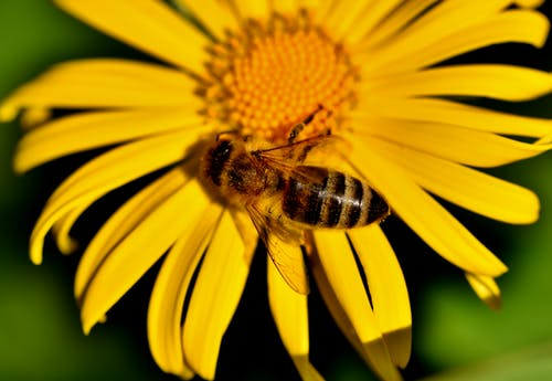 Gratis arkivbilde med bie, blomstrer, honningbie