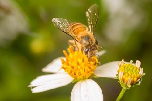 Бесплатное стоковое фото с Пчела