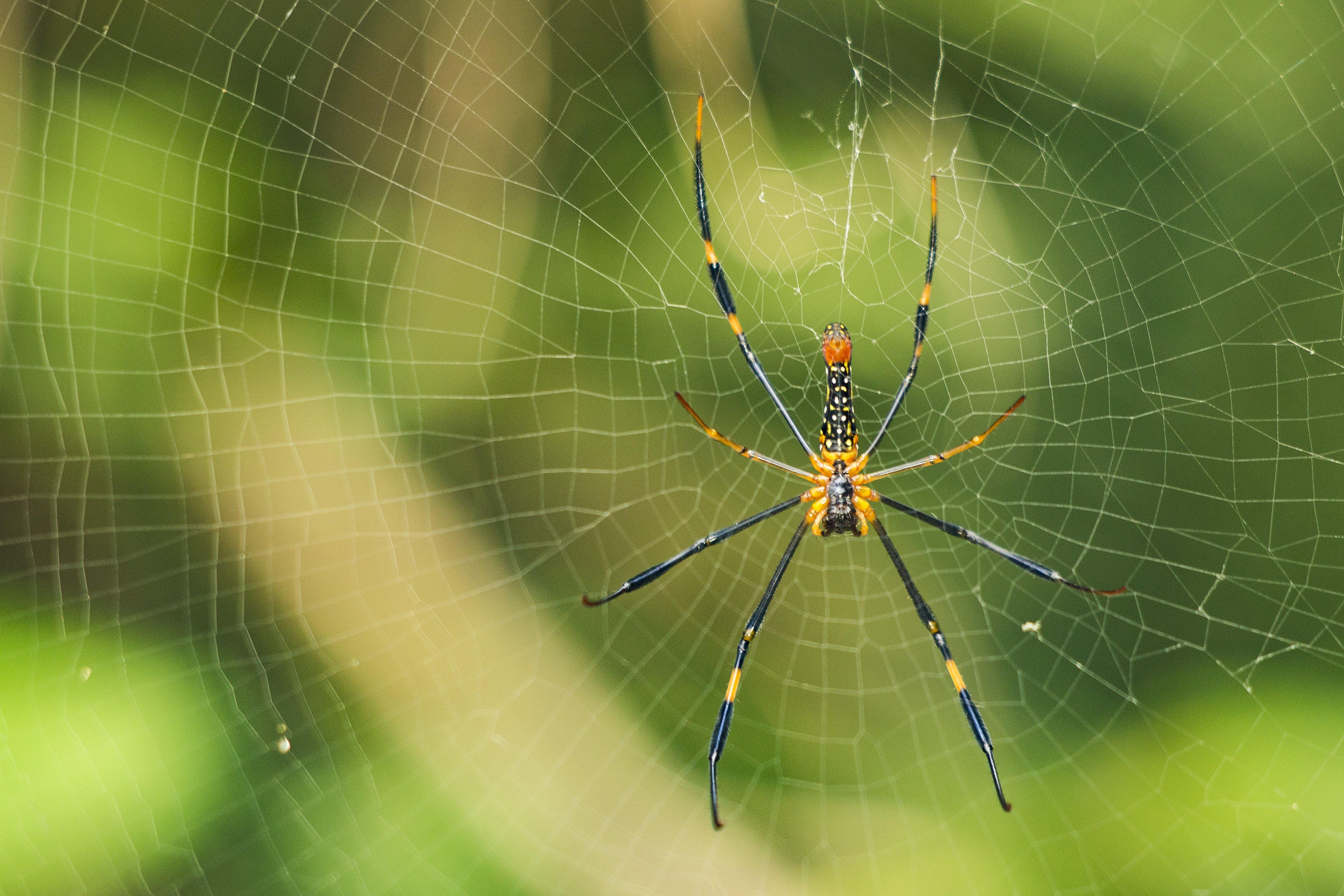 Gratis arkivbilde med dyr, edderkopp, edderkoppdyr, edderkoppnett
