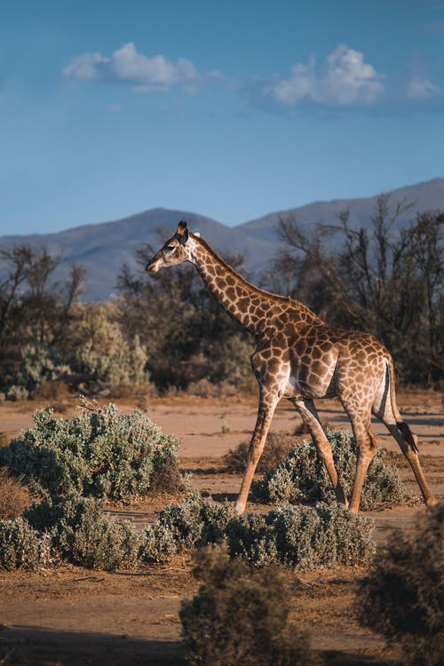 Kostenloses Stock Foto zu afrika, baby giraffe, bäume, draußen