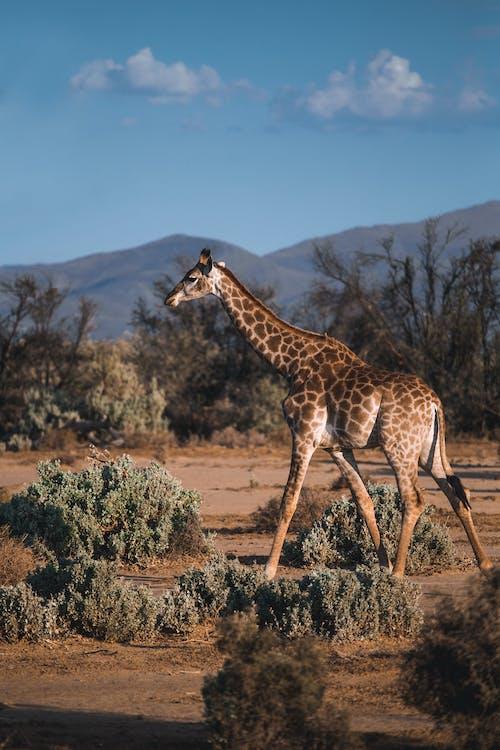 Afrika, baby žirafa, bylinožravec