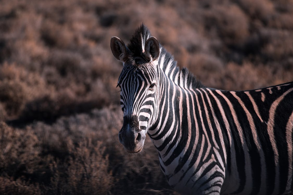 Selective Focus Photography of Zebra