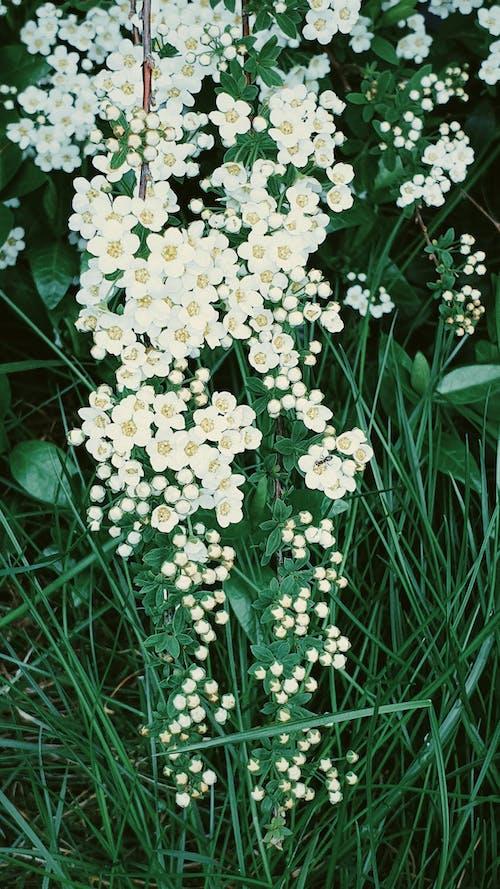 คลังภาพถ่ายฟรี ของ ขาว, ดอกไม้, วอลล์เปเปอร์ดอกไม้, เบ่งบาน