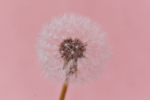 Close-up Photo Dandelion Against Pink Background