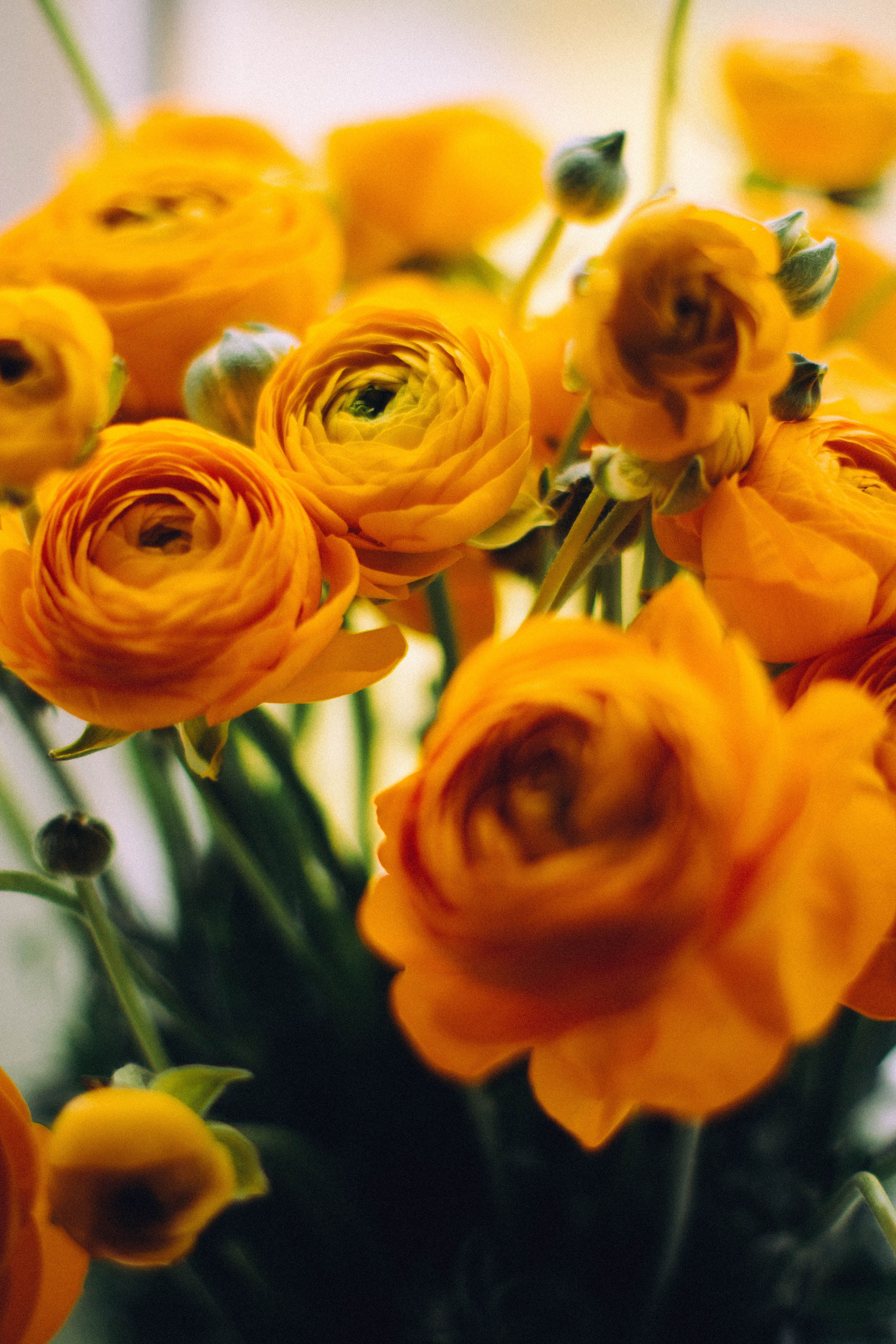 Close-up Photo of Yellow Garden Roses