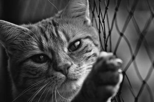 Close-up Grayscale Photo of Cat Leaning on Chain-link Fence