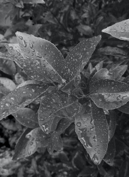 Free stock photo of leaf, monochrome, rain