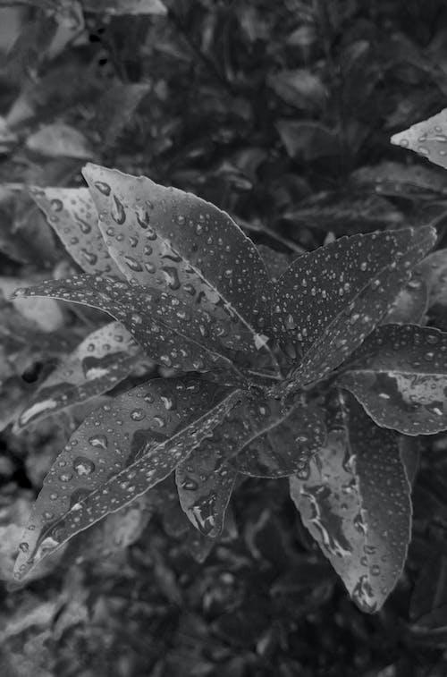 Free stock photo of after rain, leaf, monochrome
