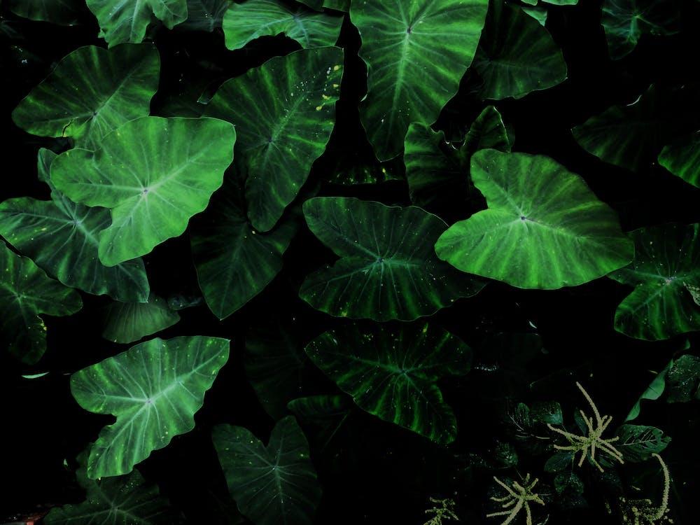 Green Tarot Plant