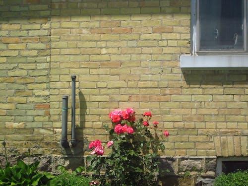 Free stock photo of flowers, house, window