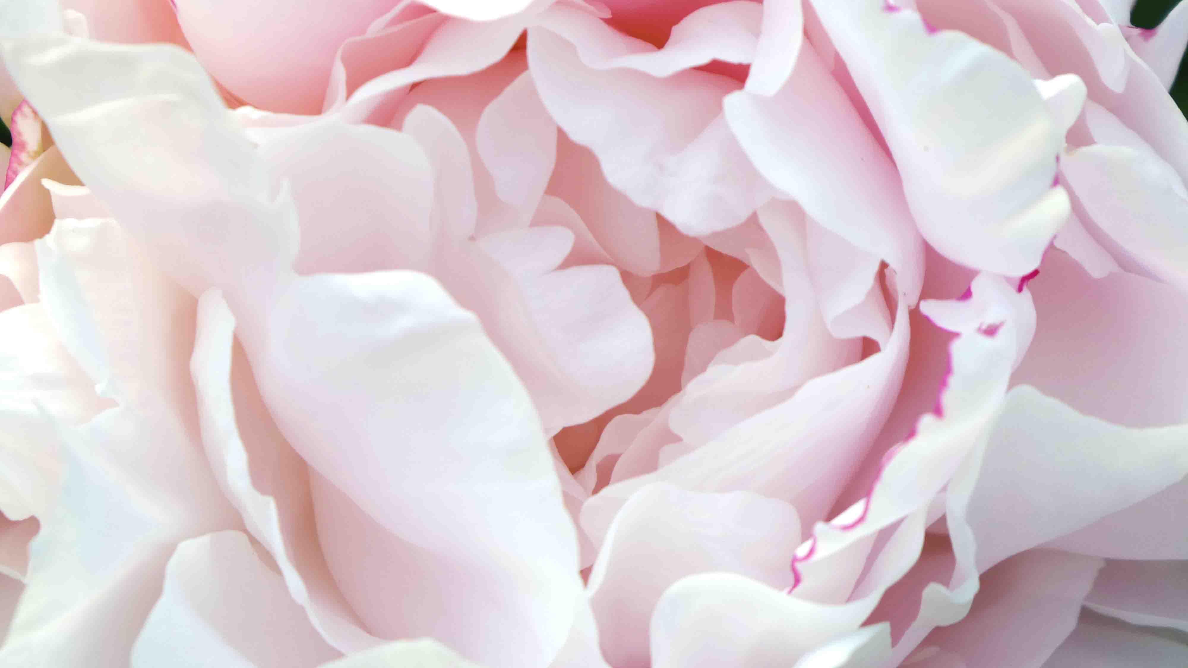 Foto profissional grátis de cor-de-rosa, peônia
