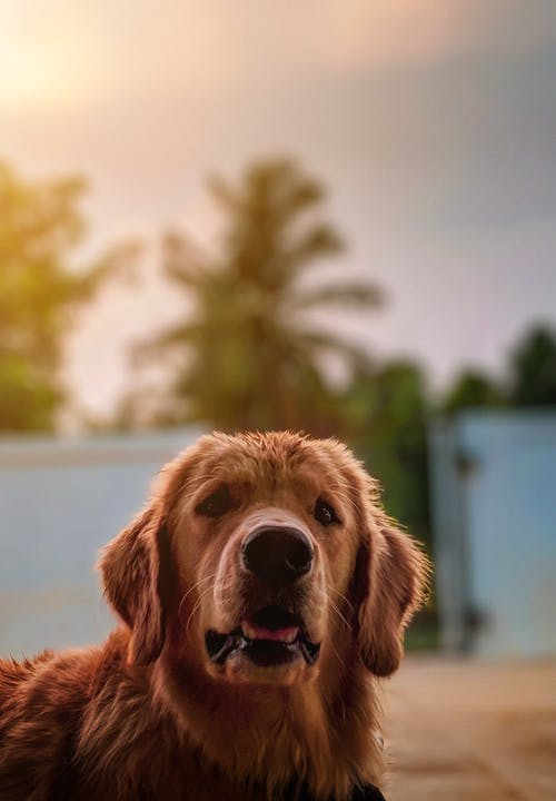 Retrato De Um Golden Retriever