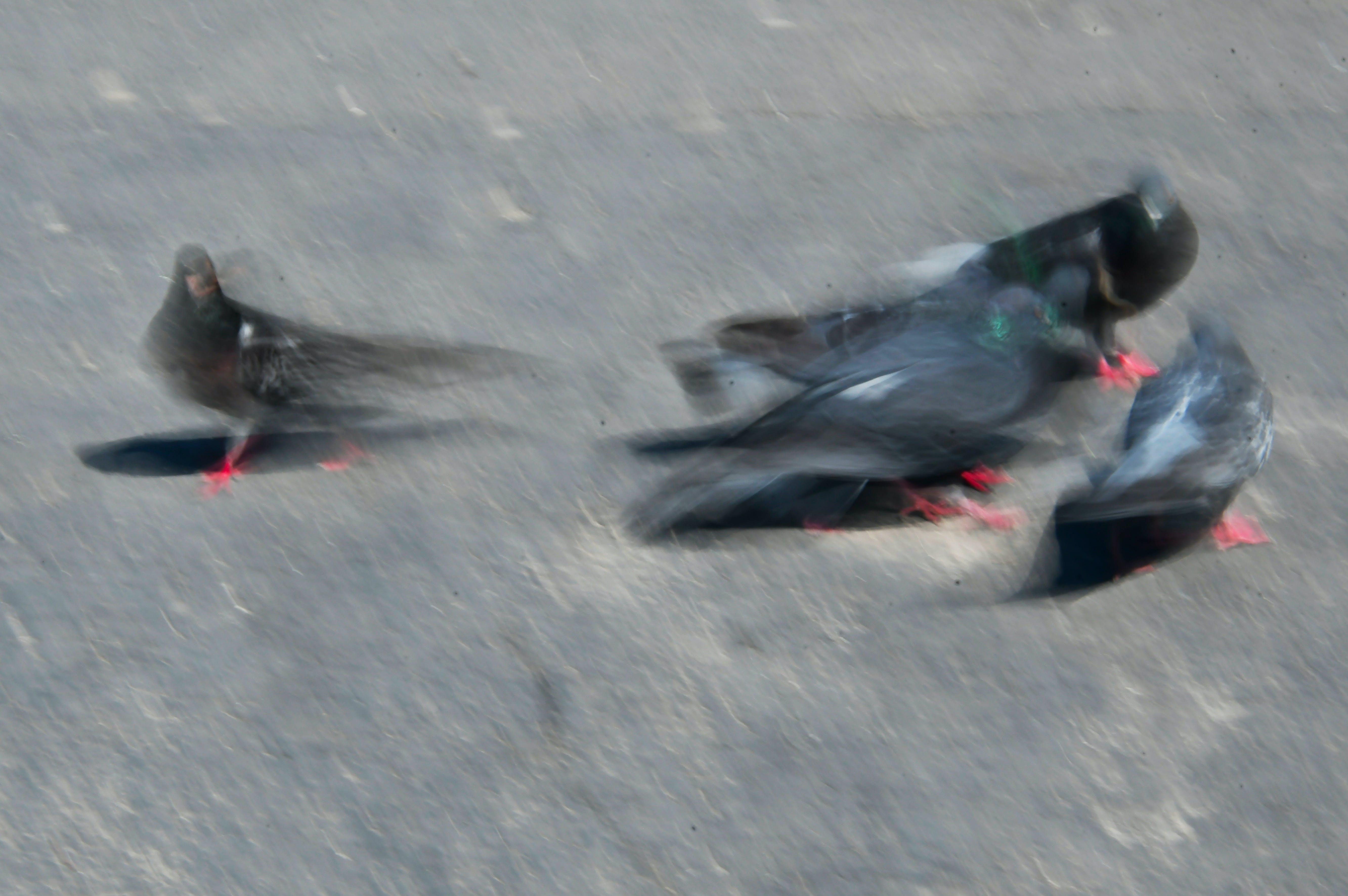 Ingyenes stockfotó állat, álló kép, columba, csőr témában