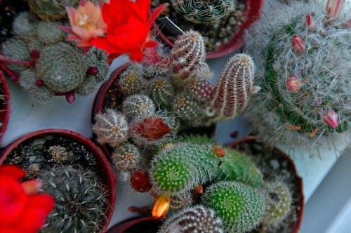 Foto d'estoc gratuïta de bonic, botànic, botànica, cactus