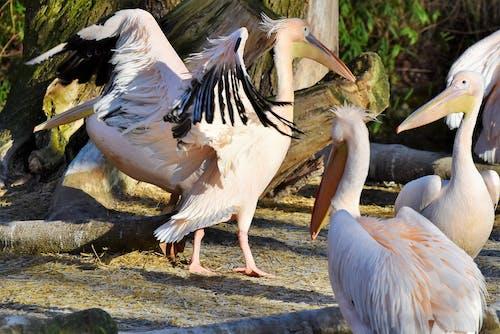 Gratis arkivbilde med pelikan, pelikaner