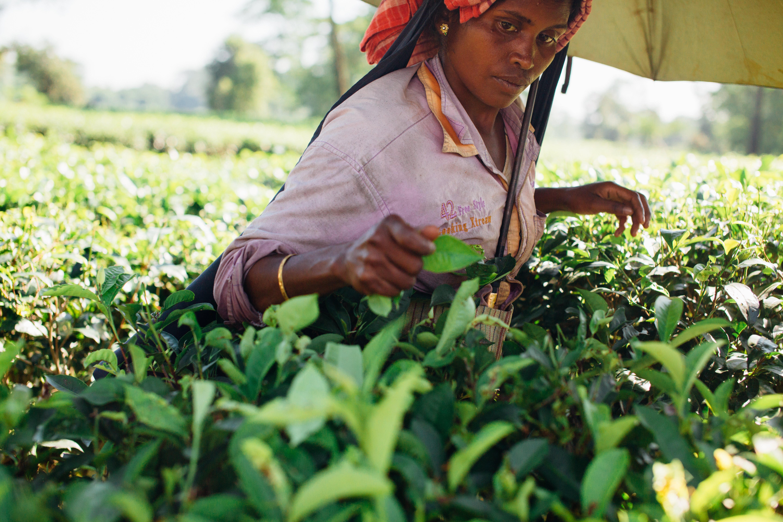 Woman Picking Tea Leaves