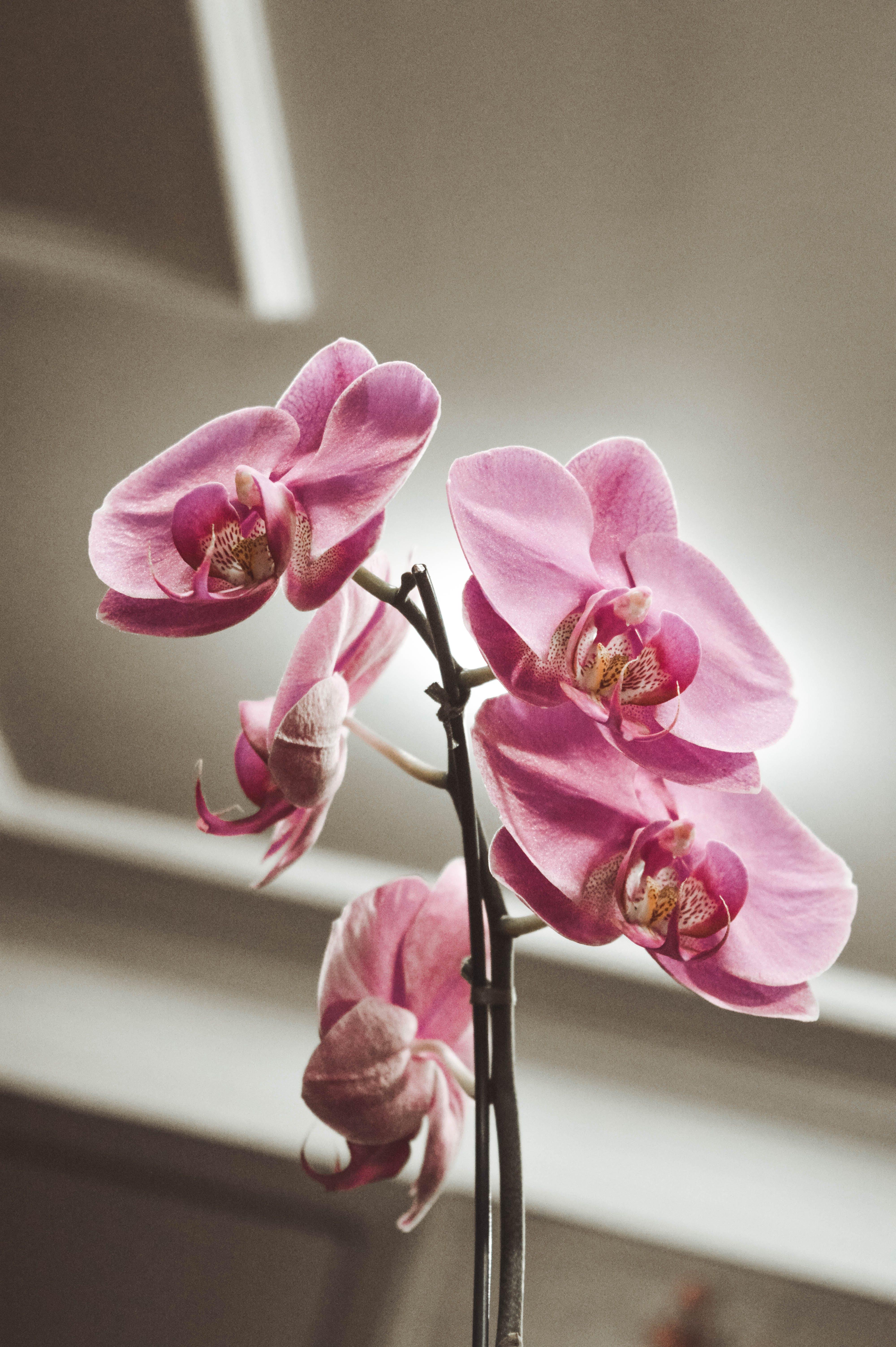 คลังภาพถ่ายฟรี ของ กล้วยไม้, กล้วยไม้สีม่วง, ดอกไม้, ดอกไม้ฤดูใบไม้ผลิ